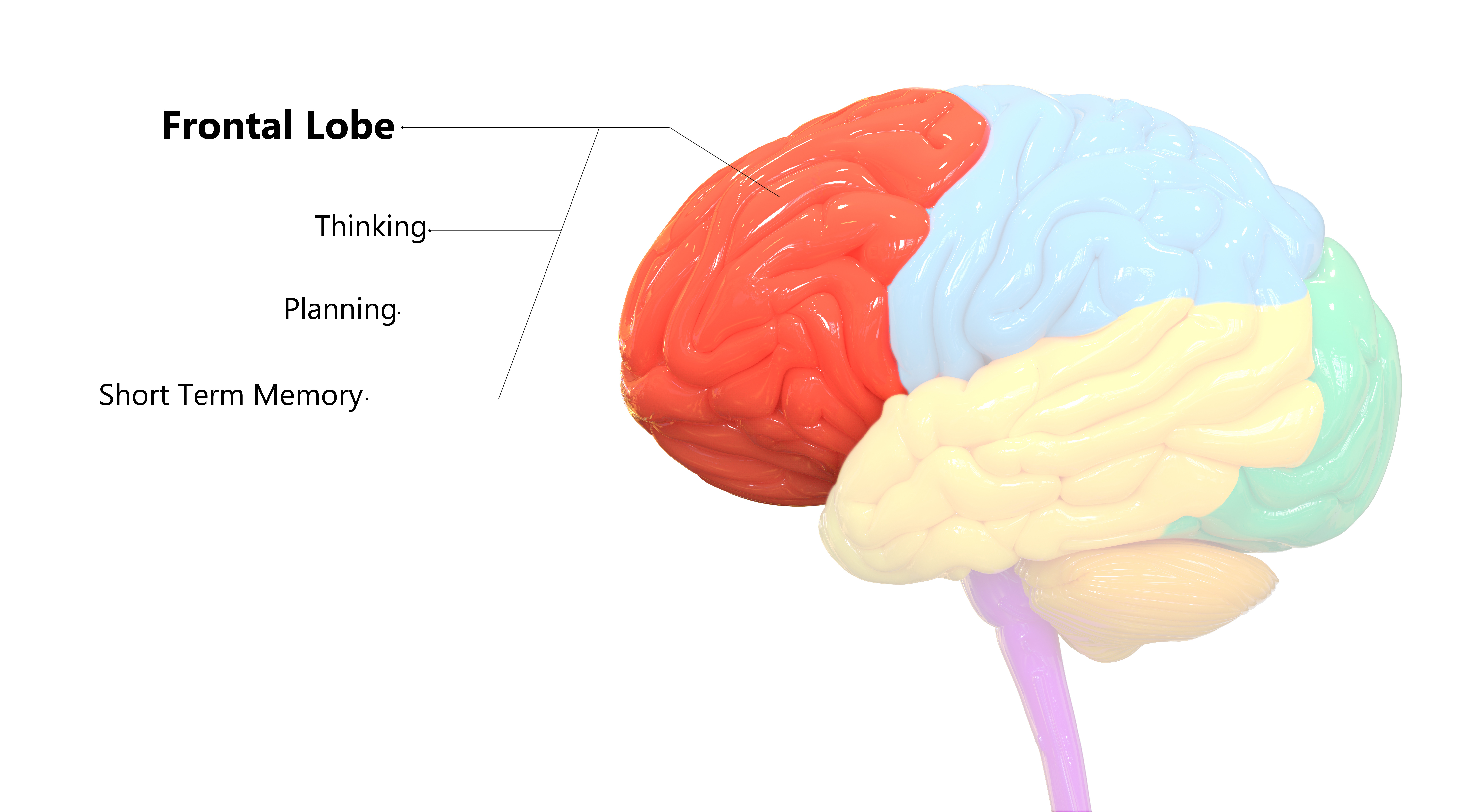 Frontal-Lobe-Structure