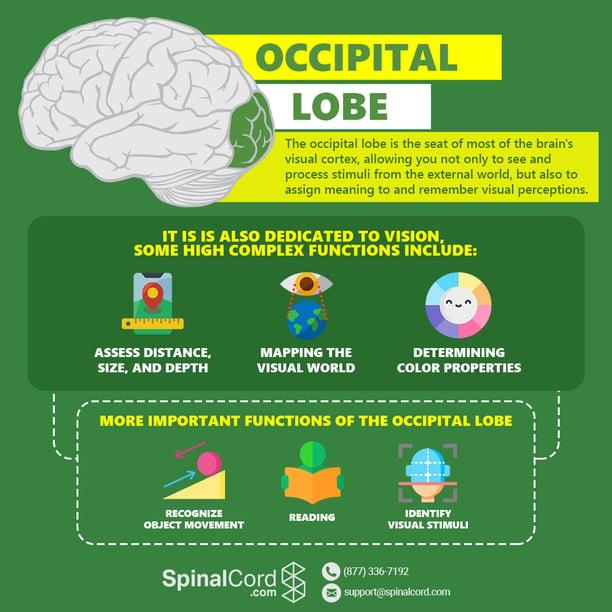 Infographic-Occipital-Lobe