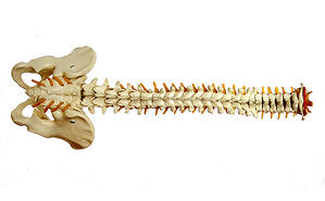 Model-of-the-spinal-column