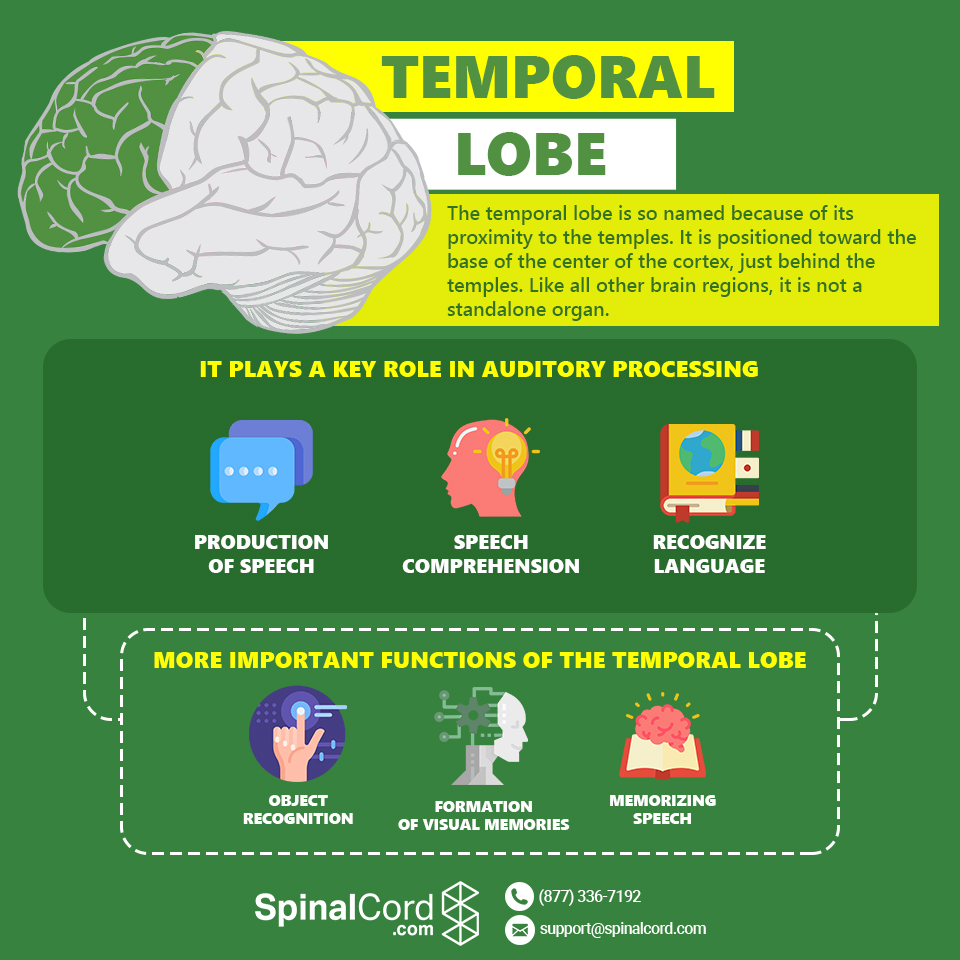 Infographic-Temporal-Lobe