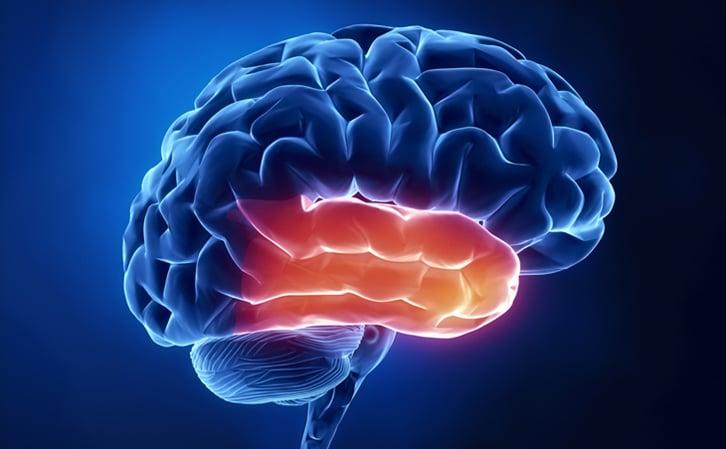 The brain - temporal lobe