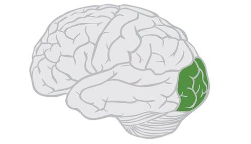 Occipital-Lobe-Location-Highlighted