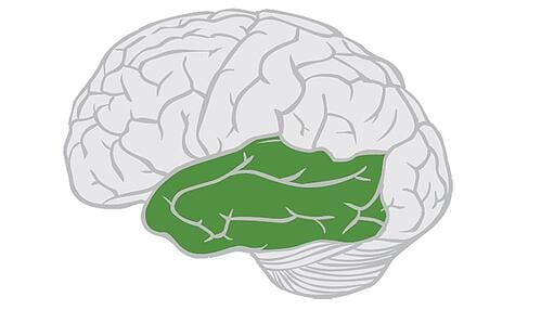 Temporal-Lobe-Highlighted-Near-Front-of-Brain