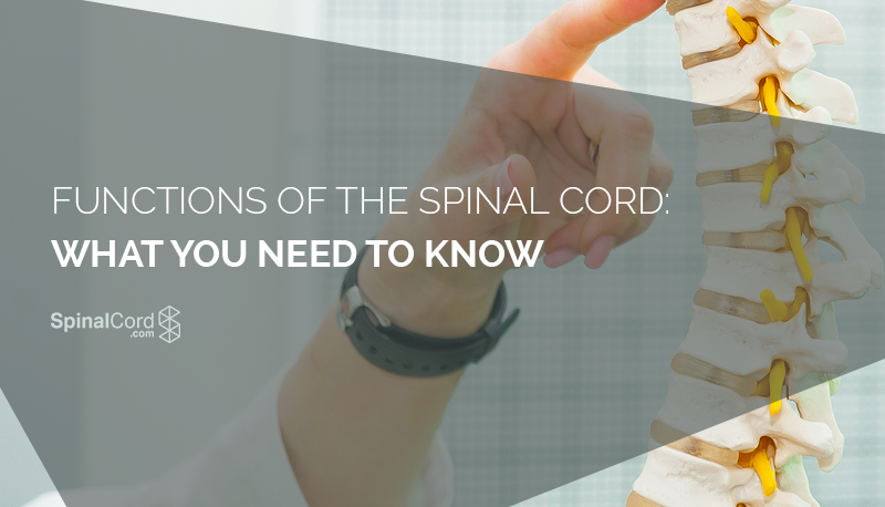 Functions Of The Spinal Cord What You Need To Know