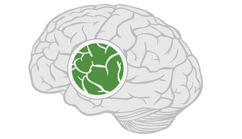Insular-Cortex.png