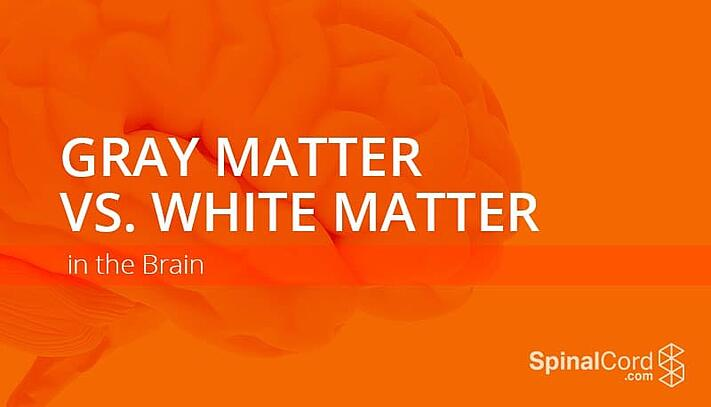 Gray Matter vs White Matter in the Brain